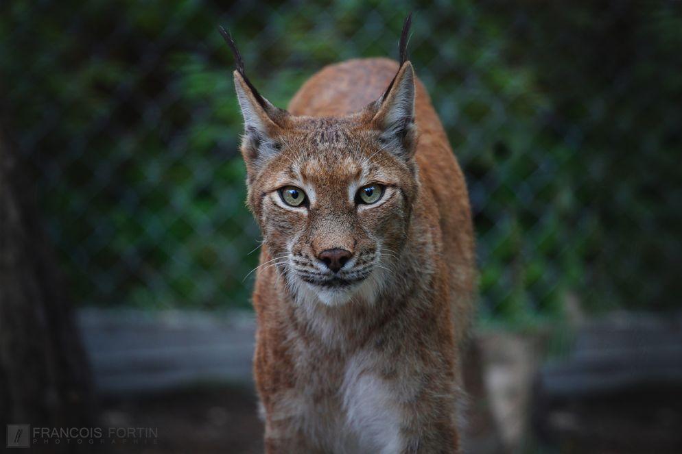 20. lynx stare