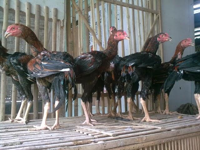 3 Tips Panduan Singkat Ternak Ayam Bangkok Untuk Pemula