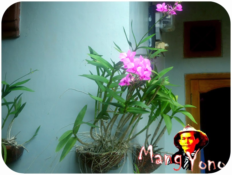Anggrek berbunga dengan media Arang kayu dengan Pot ditempel pada dinding Rumah saya