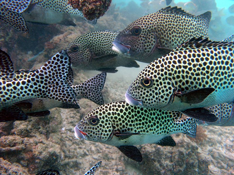 Fish index spotted sweetlips plectorhinchus chaetodonoides for Sweet lips fish