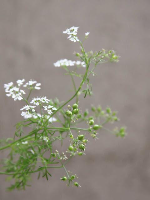 Flores y Semillas de Cilantro - Como Cultivar Cilantro en Macetas ¿Por donde empezar?