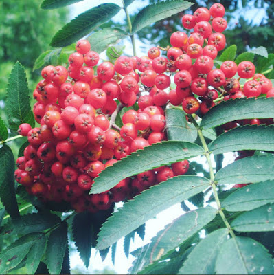 Red berries on a magical rowan tree in the british countryside during the late summer or early autumn with lovely green leaves.