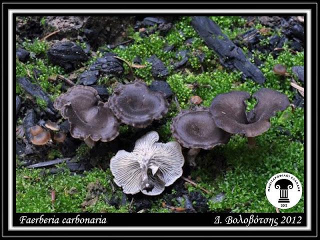 Faerberia carbοnaria (Alb.& Schwein.) Pοuzar
