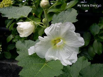 White Flowers in Hibiya Garden - Tokyo, Japan