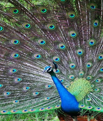 indian-national-bird-dancing-peacock-image