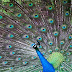 Nice Peacock images Free Download Love