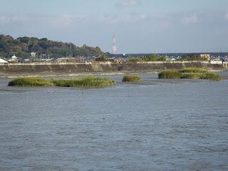 大野川河口のスパルティナ・アルテルニフロラ写真