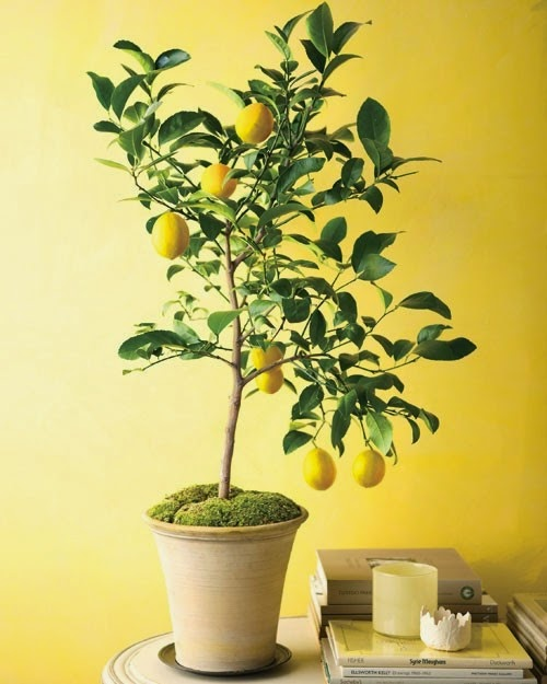 How to grow lemon trees from seeds organic gardening my for Growing a lemon tree in a pot from seed