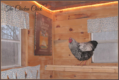 Christmas lights inside the coop goes beyond the festive look: promoting egg production.