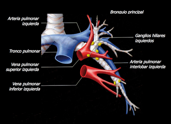 El esfenoides: Anatomía del hilio pulmonar izquierdo.