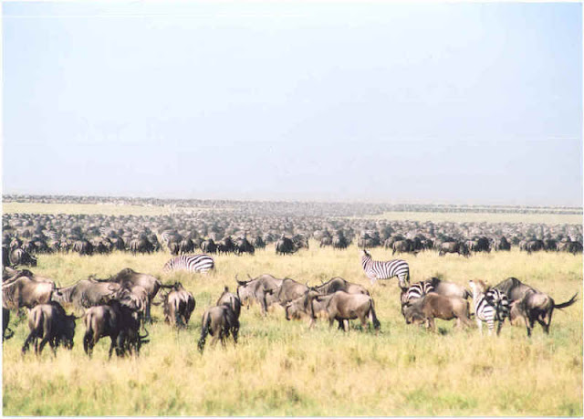 Migrating animals in the Serengeti park in Tanzania