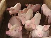 Giảm lãi suất cho vay phục vụ chăn nuôi, chế biến thịt lợn, gia cầm, cá tra và tôm về mức tối đa 8%/năm (19/03/2014)