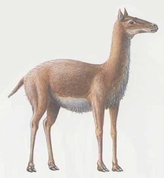 camellos fosiles Procamelus