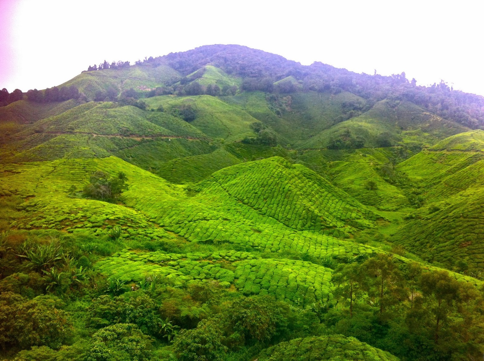 BOH tea plantation in the Cameron Highlands, Malaysia