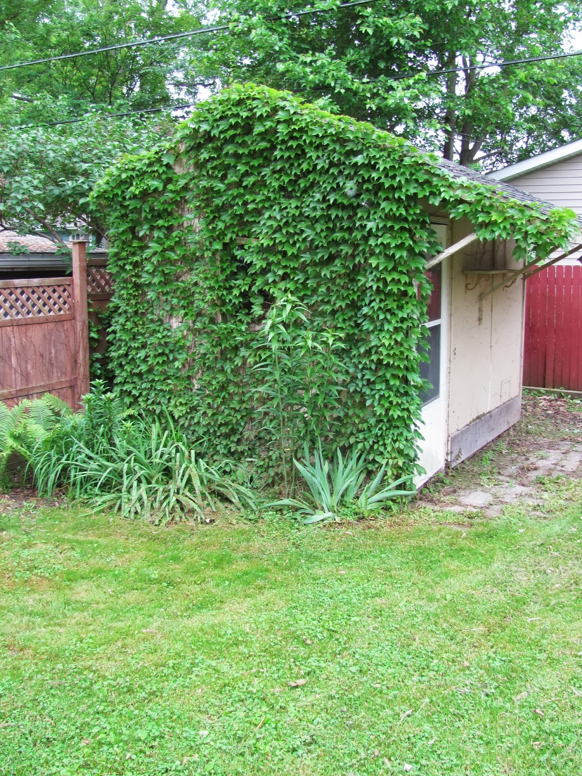 The garden shed stands with green ivy covering the side facing the house