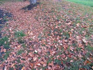 カツラの落葉