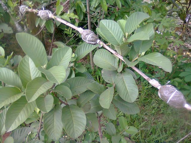 Cangkok Jambu Biji Berderet Dalam Satu Batang Tanaman Sejenis