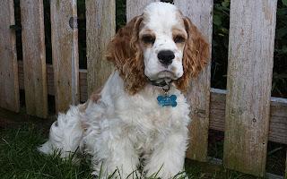 Clumber Spaniel Dog 3