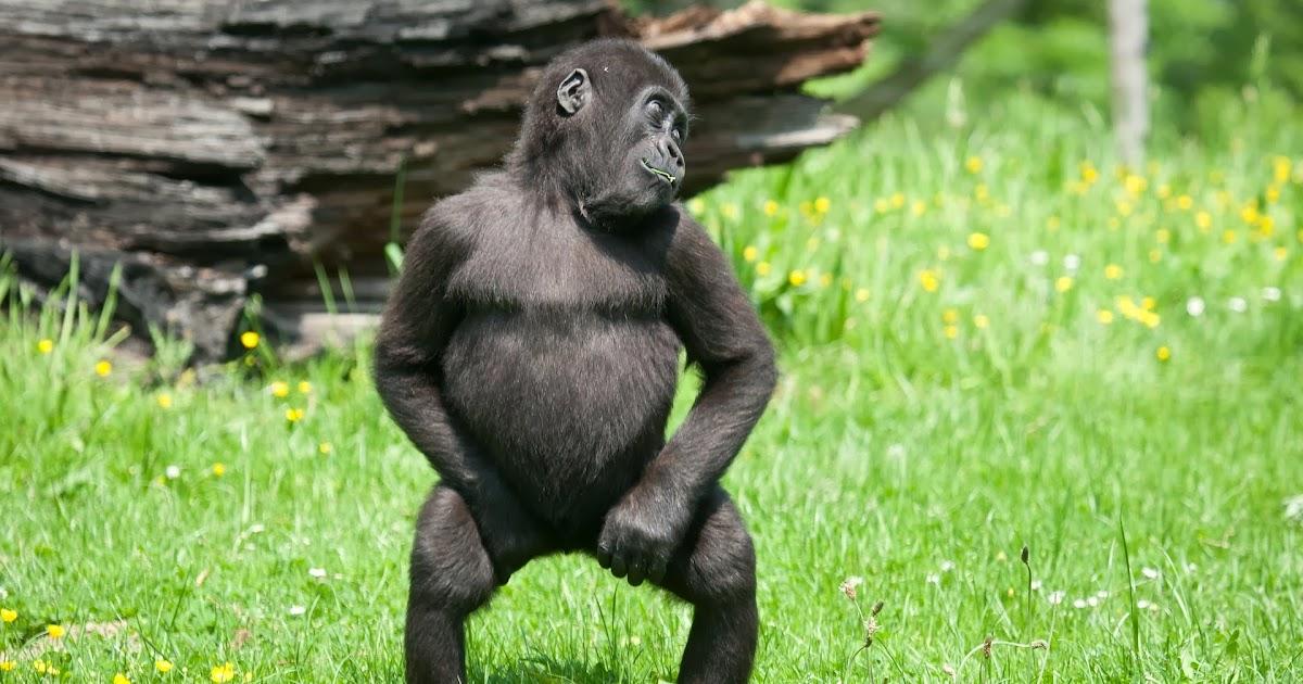 K Kutta Monkey Walk Download Monkey grass walk wall...