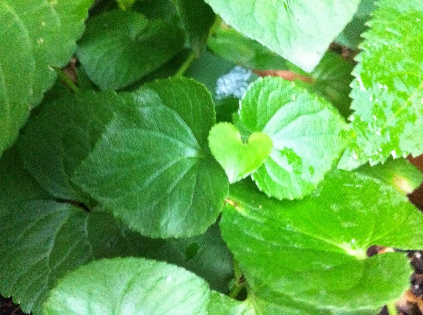 Las violeteras de mi jardín...