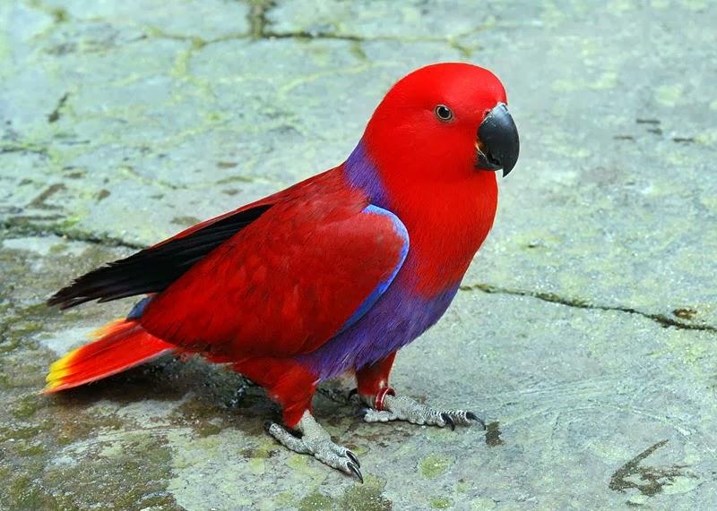 Burung Nuri Ocehan Burung