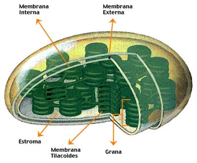 ciclo de calvin proceso anabolico