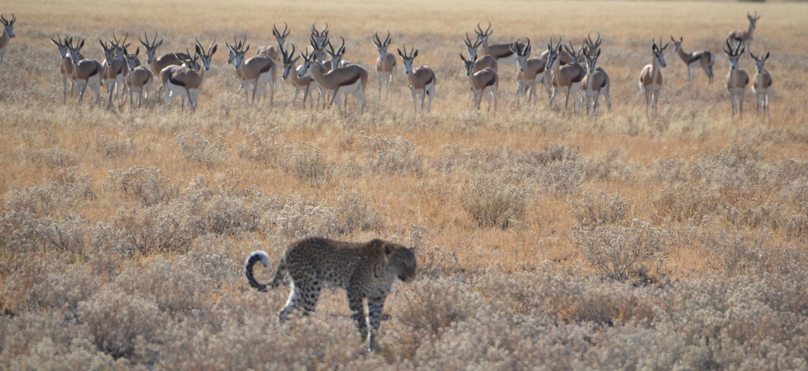 Displaying 16 gt images for leopards hunting