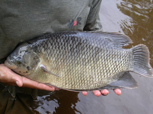 ikan guramih