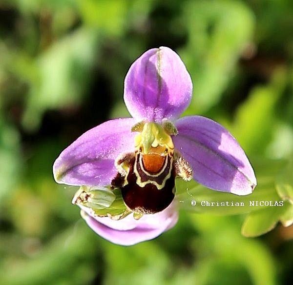 Orchidée sauvage de Touraine