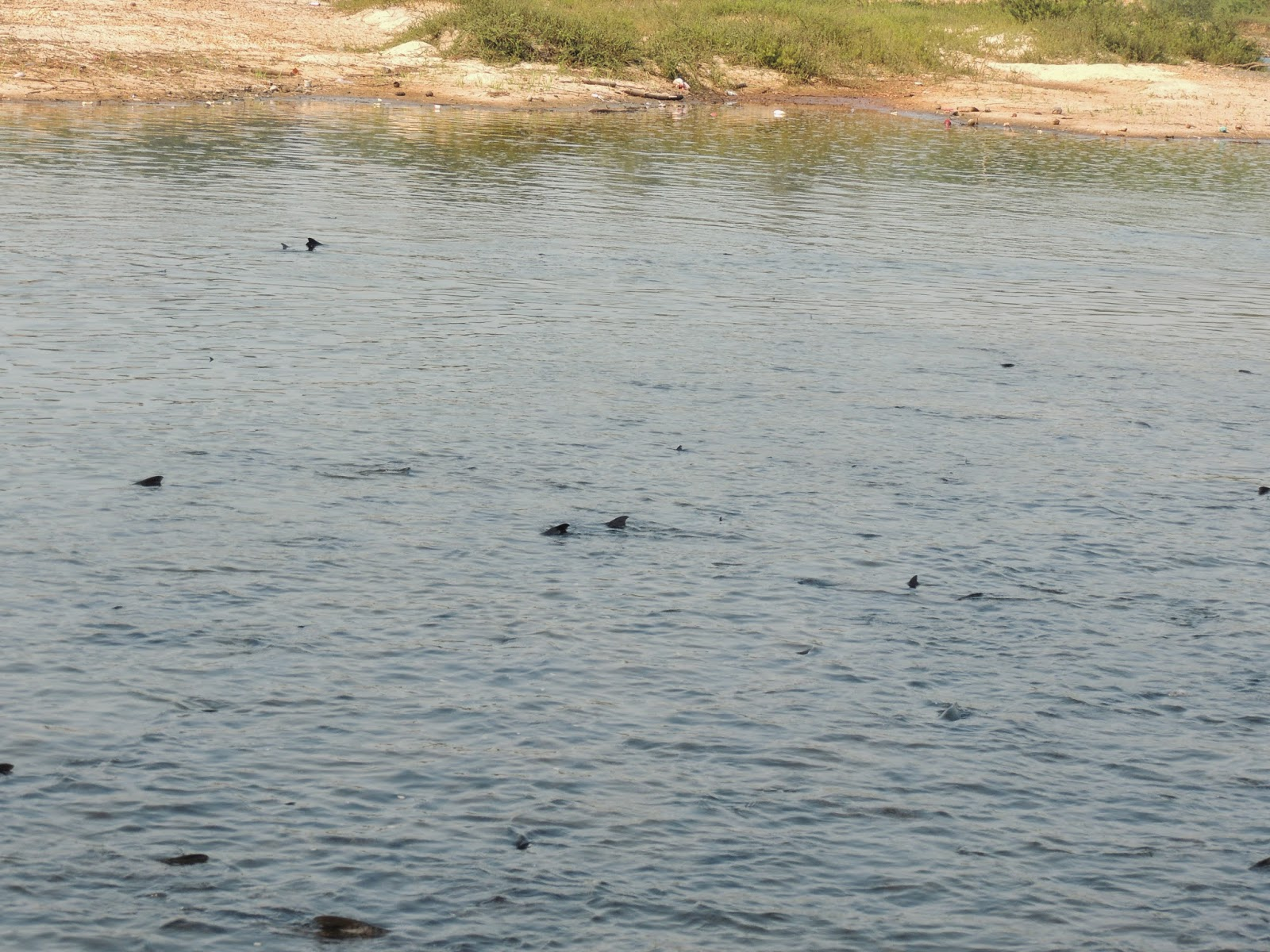 Black Fishes in Tunga River
