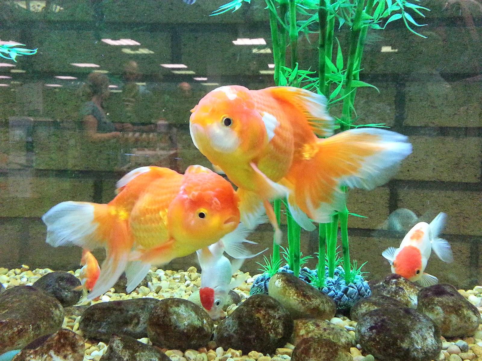Peces y plantas ornamentales carassius auratus goldfish for Acuarios ornamentales