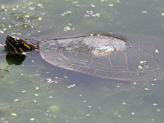 painted turtle under the water