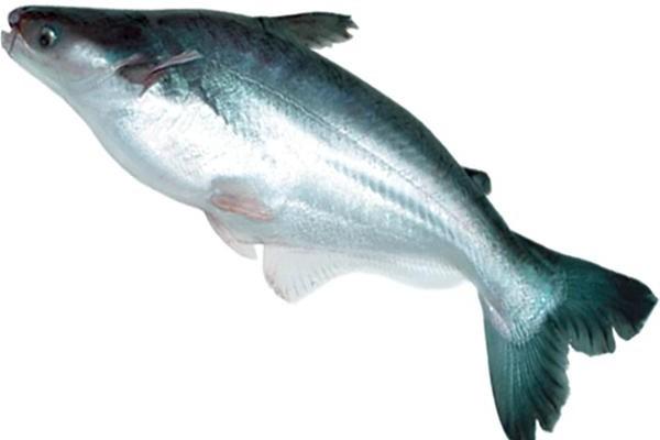 Jenis Ikan Konsumsi Air Tawar Yang Sering Dibudidayakan ...