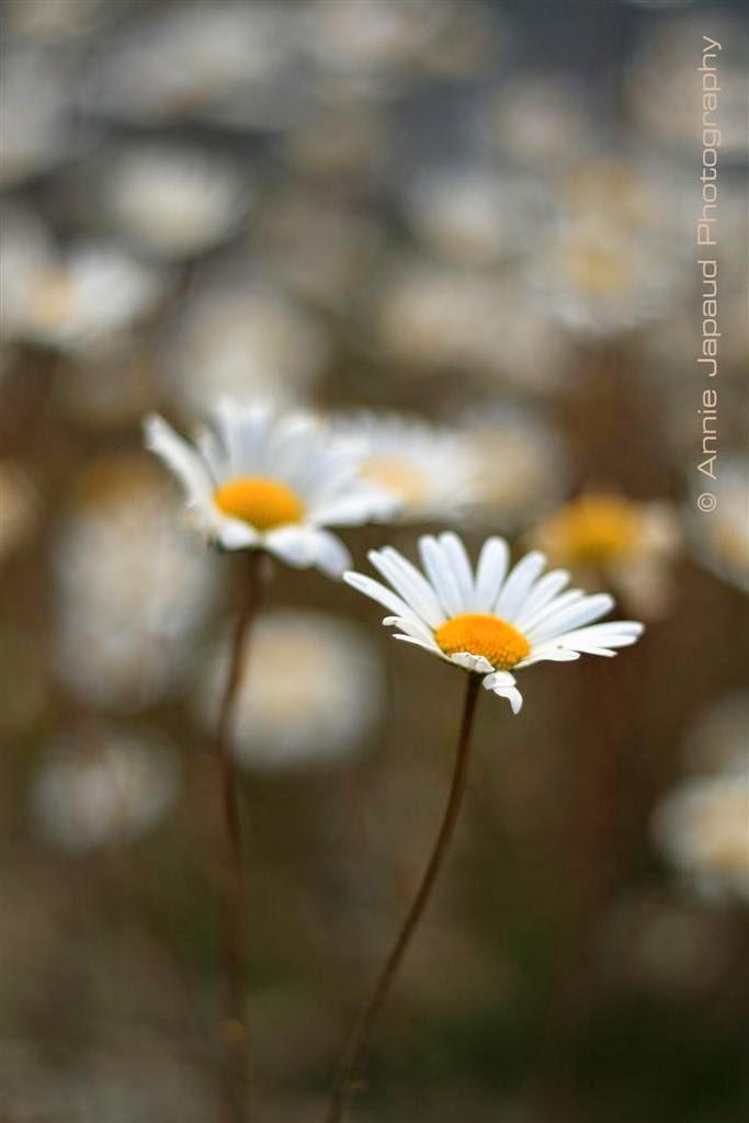 daisies, flowers, summer