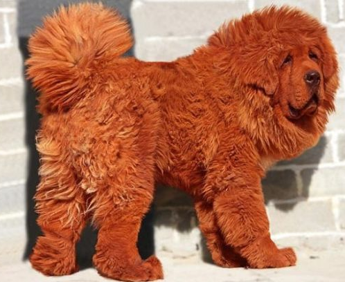 photo of a red tibetan mastiff puppy