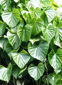 Herbal ingredients of The Jamu Shop
