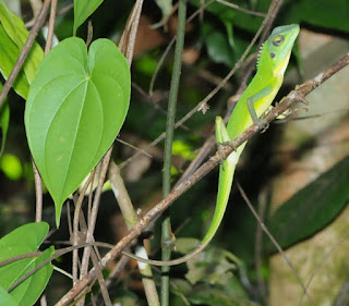 Green Crested Lizard (Bronchocela cristatella)