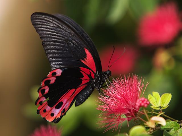 beautiful butterfly hd desktop - photo #22