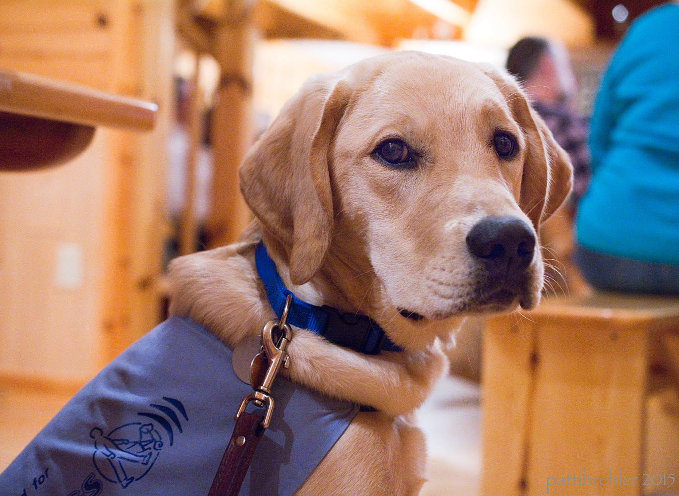 A low, closeup of a young yellow lab/golden retriever mix puppy. The puppy is sitting down and while his body is facing the right, he has his head turned toward the camera. He is wearing the blue Future Leader Dog jacket and a blue collar with his leash clipped to it. There are a few people in the background out of focus, sitting on wooden benches.