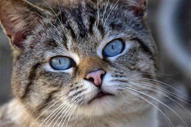 Frankie Cat Old Blue Eyes portrait