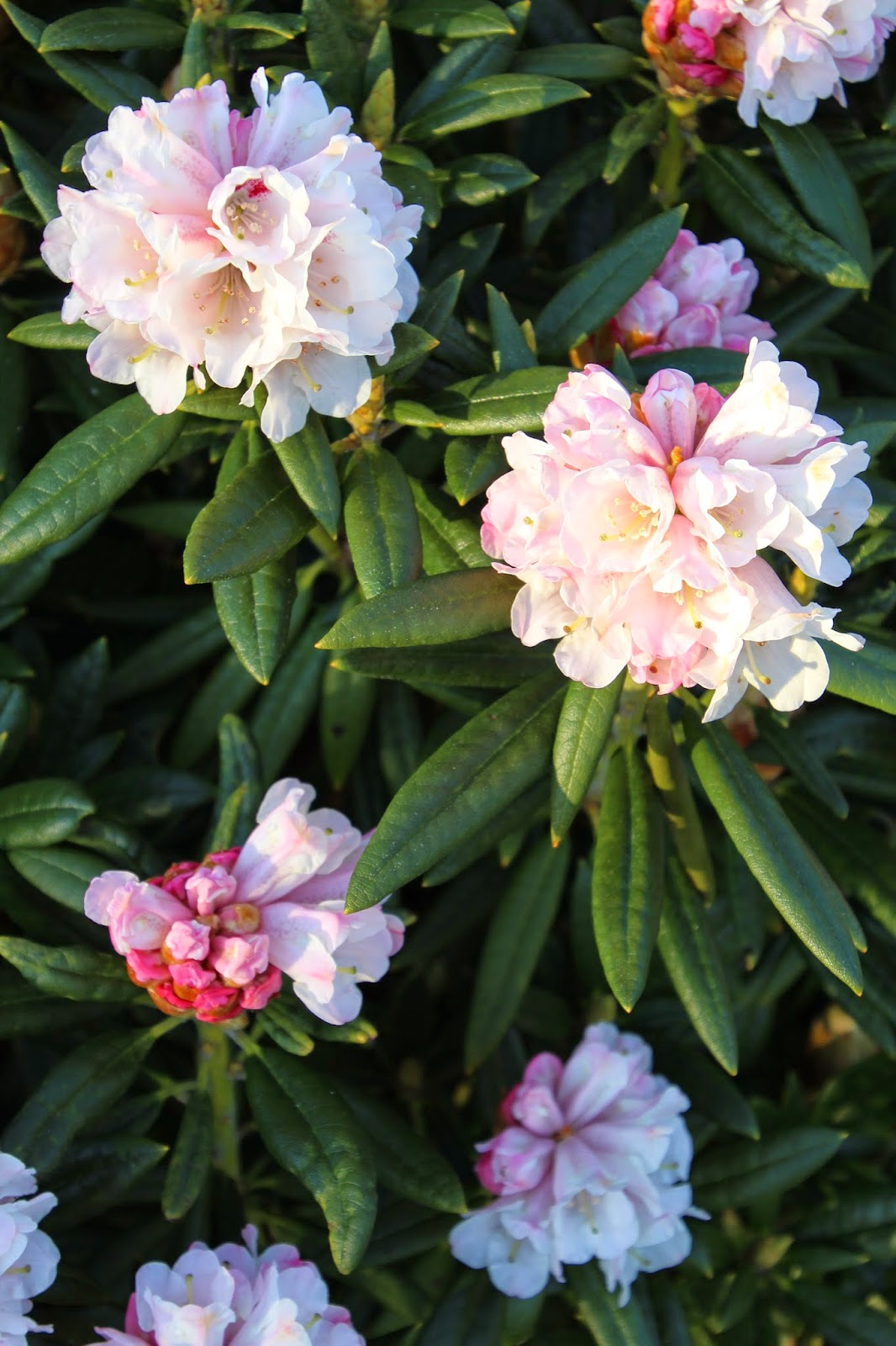 Rododendron Rhododendron roxieanum 'Blewbury'