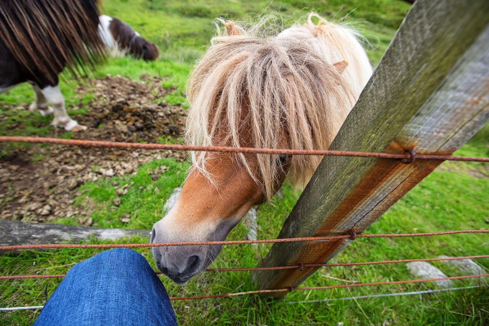 Shetland Ponies, Scotland, UK