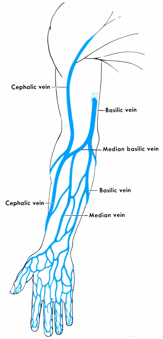 Hand veins anatomy