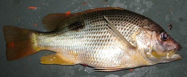 Ikan Ungar