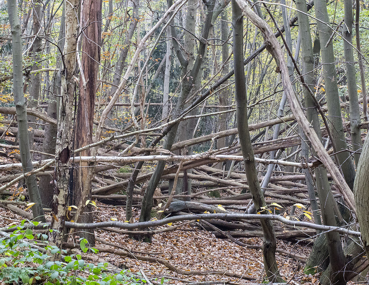 Gully with fallen trees.  Farningham Wood, 28 November 2013.