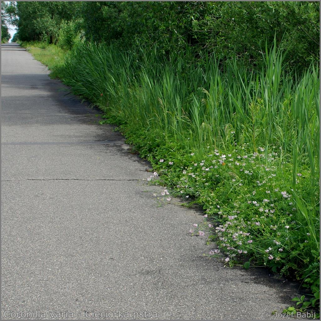 Coronilla varia habitat     - Cieciorka pstra przykładowe środowisko występowania