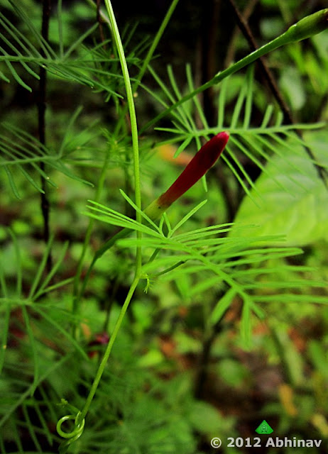 Red Cypress Vine Morning Glory