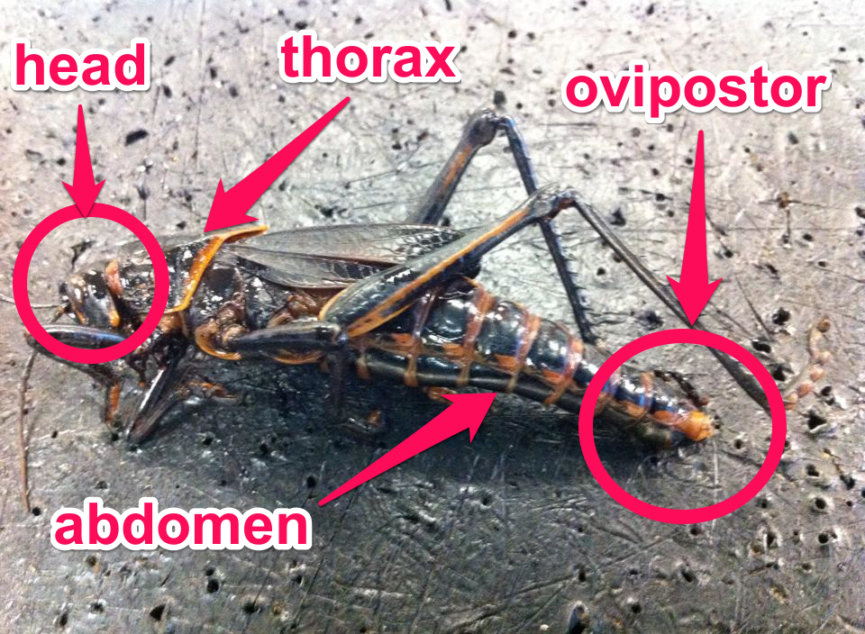 Cathy\'s Biology 11 Blog: Grasshopper Dissection
