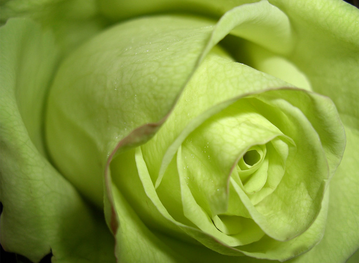 Yellow color wallpapers green roses for Green colour rose images