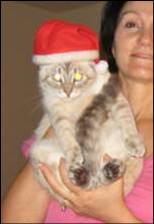 Part Siamese cat with Santa hat